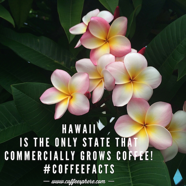 Coffee is grown commercially in Kona Hawaii.