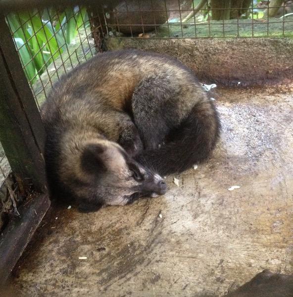 caged civet